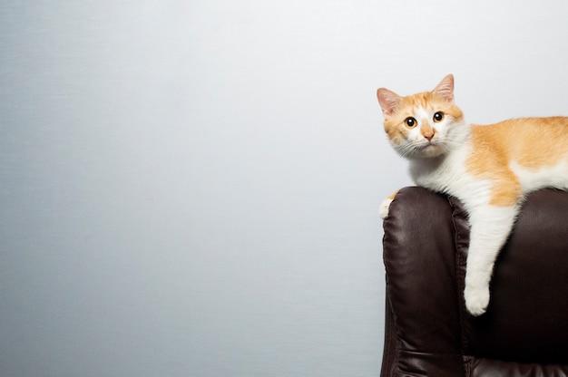 Chat orange est assis dans un fauteuil et regarde la caméra