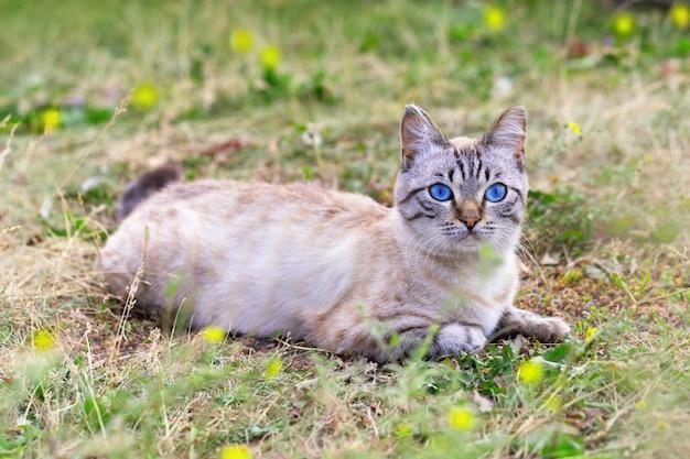 Chat de pays aux yeux bleus. beau chat au repos sur une pelouse verte.