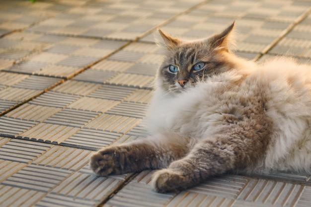 Le chat pelucheux gris aux yeux bleus se trouve sur un sentier. chat en colère ou question de l'expression du visage du visage. animaux de compagnie et concept de mode de vie.