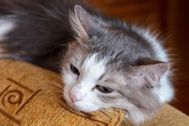 Chat pelucheux somnolent sur le canapé. fermer.