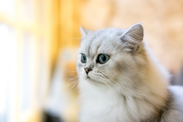 Chat persan assis dans la chambre
