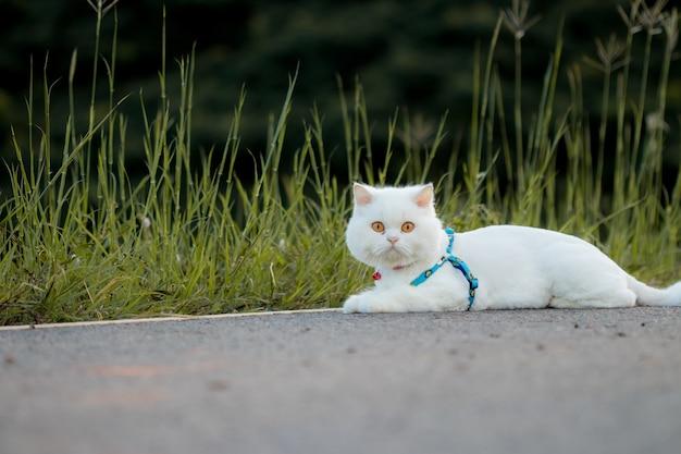 Chat persan blanc accroupi sur la route