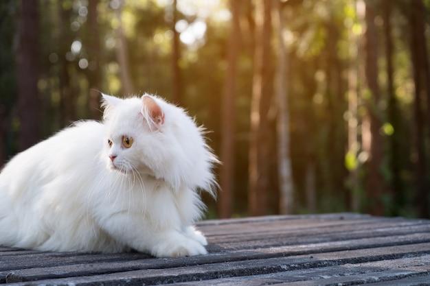 Chat persan blanc au sol