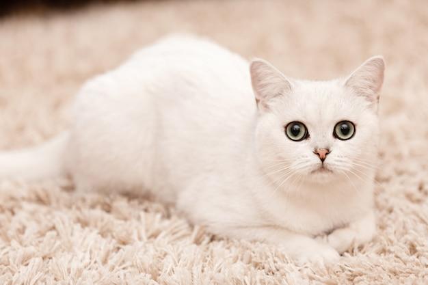 Chat persan blanc aux yeux bleus allongé sur un tapis de fourrure blanc à la maison