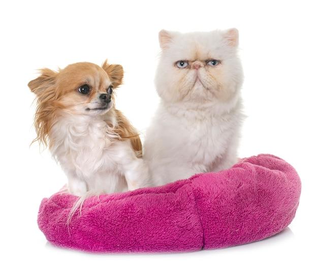 Chat persan blanc et chihuahua