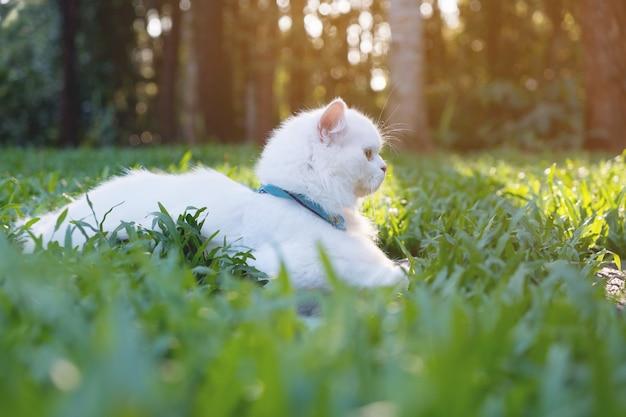 Chat persan blanc sur fond clair d'herbe soleil