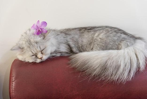 Chat persan chinchilla dormant sur le canapé.