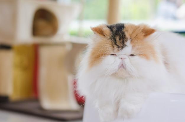 Chat persan dans la chambre