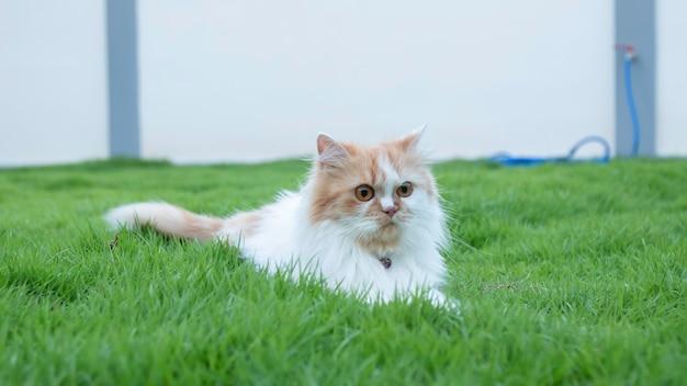 Le chat persan a menti sur l'herbe dans la pelouse