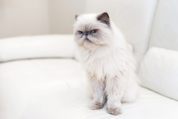 Chat persan mignon sur un canapé blanc