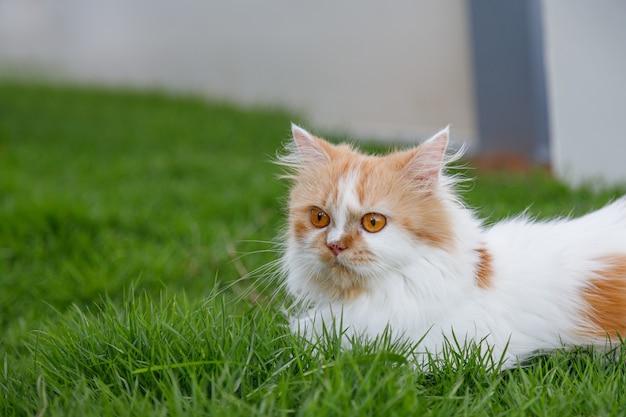 Le chat persan mignon est assis sur un champ d'herbe verte