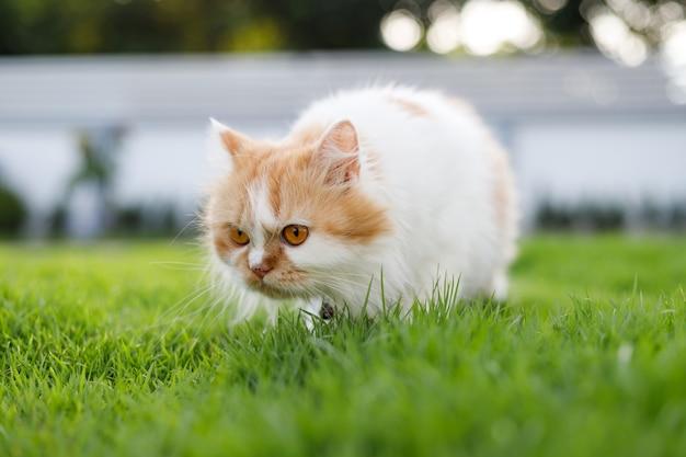 Le chat persan mignon sent un champ d'herbe verte, une faible profondeur de champ de mise au point sélective