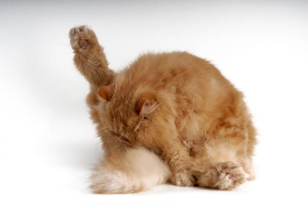 Chat persan se gratter et se lécher