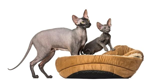 Chat peterbald nu dans un panier pour animaux de compagnie