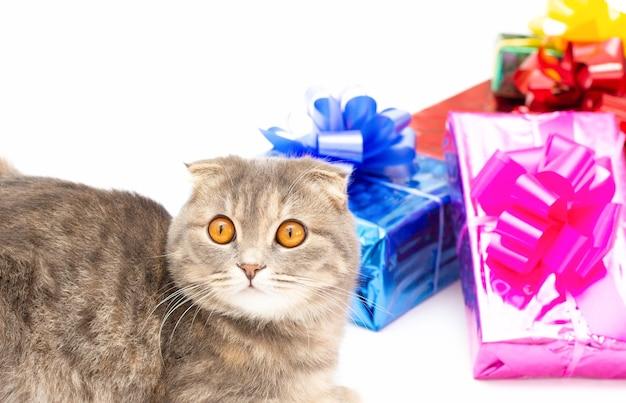 Chat de pli écossais drôle avec la boîte-cadeau rose bleu rouge
