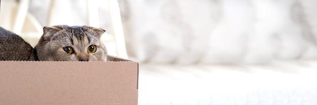 Chat plié scotch dans une boîte en carton sur le sol du salon.