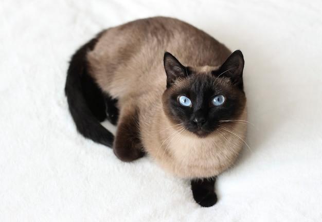 Chat point siamois thaï aux yeux bleus allongé sur le canapé