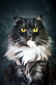 Chat, portrait d'un chat drôle avec de grands yeux jaunes.