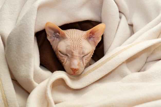 Chat de race le gros plan sphinx. chat sphynx dans un plaid beige. sphinx rose. chat sans poils. photo d'un animal domestique. le chat se repose à la maison.