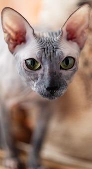 Chat de la race sphynx ressemble