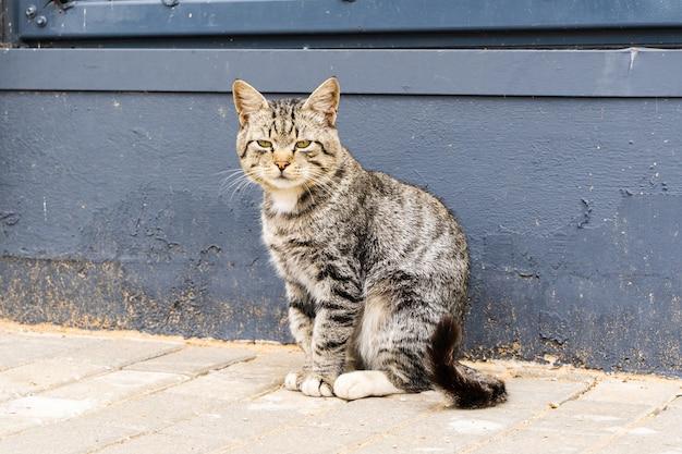 Le chat rayé domestique sérieux est assis près du mur bleu foncé.