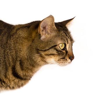 Un chat rayé sur un fond blanc semble de côté. isolé