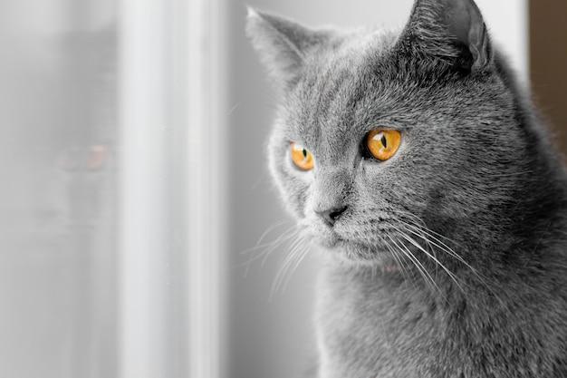 Le chat regarde par la fenêtre. chat gris britannique.