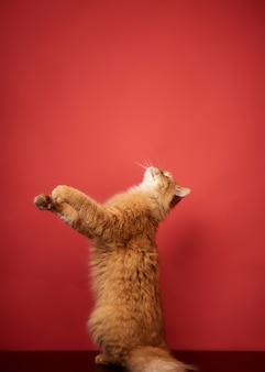 Chat rouge adulte saute et tire ses pattes sur fond rouge