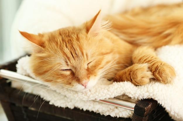 Chat rouge au repos à l'intérieur