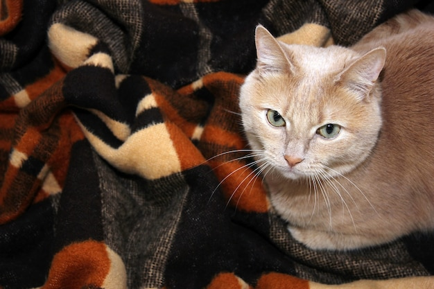 Un chat rouge sur une couverture à carreaux chaude. l'automne est arrivé. l'hiver est arrivé. refroidissement dans le concept de la nature. garder les animaux de compagnie. idée de convivialité et de confort.
