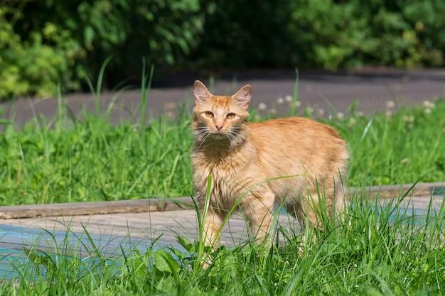 Chat rouge sur l'herbe