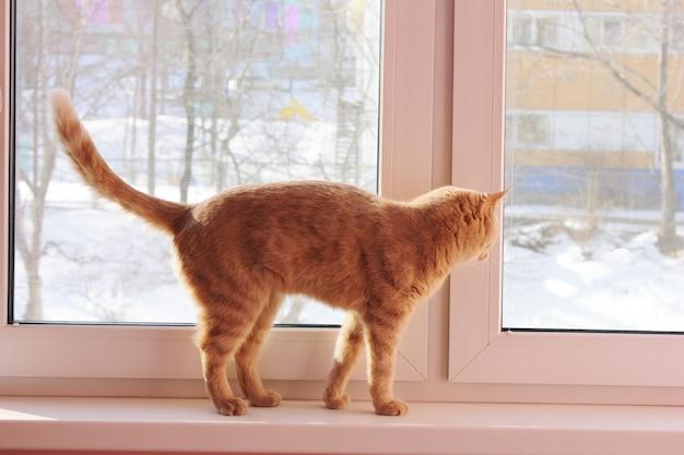 Chat rouge marche sur le rebord de la fenêtre et regarde par la fenêtre