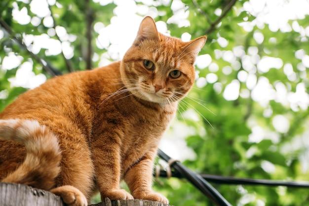 Chat rouge mignon sur la clôture