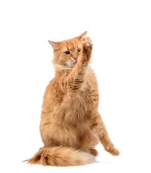 Chat rouge moelleux adulte assis et a soulevé ses pattes avant, imitation de tenir n'importe quel objet, animal isolé sur fond blanc