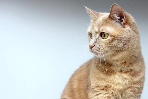 Le chat rouge regarde ailleurs avec concentration.