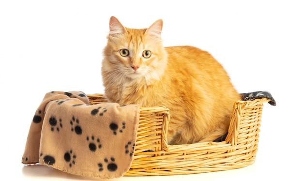 Chat rouge tigre avec de beaux poils