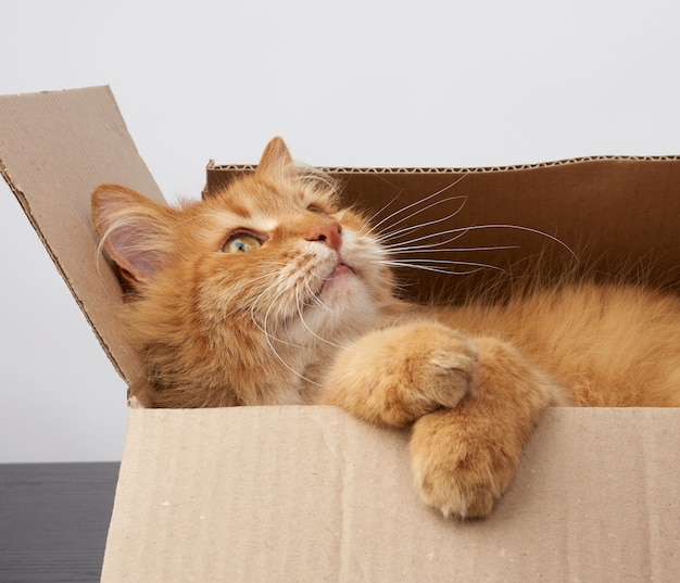 Chat roux adulte se reposant dans une boîte en carton brun