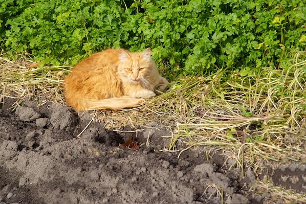 Le chat roux adulte se trouve en été au soleil sur le sol.