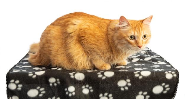 Chat roux aux yeux orange blanke noir