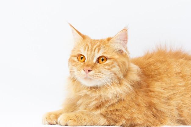 Chat roux mignon couché isolé sur fond blanc