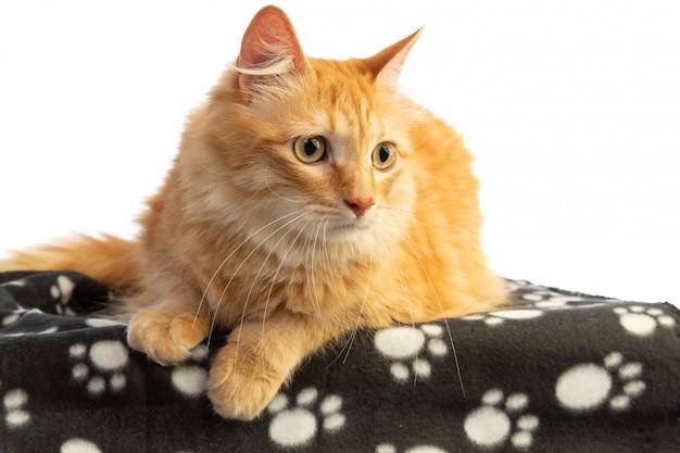 Chat roux à la recherche sur le côté avec des yeux orange sur blanke