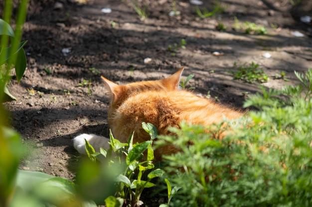 Chat roux se prélassant au soleil du printemps sur le sol dans un parterre de fleurs