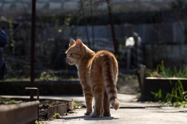 Chat roux se promène dans le jardin par une journée ensoleillée jeunes plantes vertes