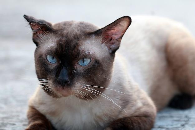 Chat de rue se bouchent, chat thaï