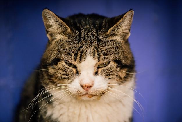 Un chat de rue tacheté de blanc. chat, marche, rue. chat blanc-gris dans la rue. gros plan portrait dépouillé chat sans-abri gris et blanc.