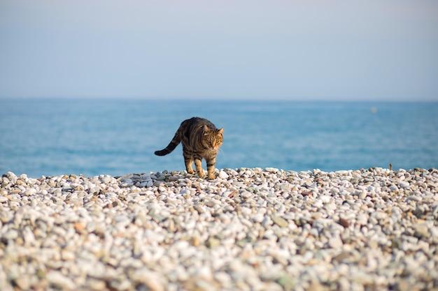 Le chat s'impose sur la plage de galets au bord de la mer méditerranée, en turquie