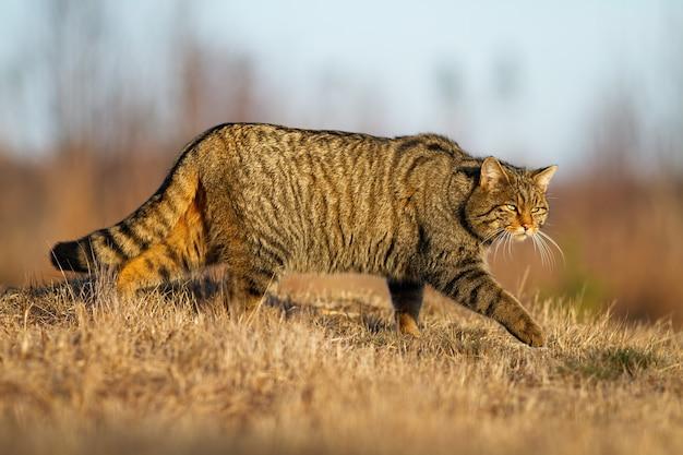 Chat sauvage européen, felis silvestris, chasse sur terrain sec en automne nature. mammifère dépouillé brun marchant sur pré au soleil. prédateur marchant sur l'herbe à l'automne.
