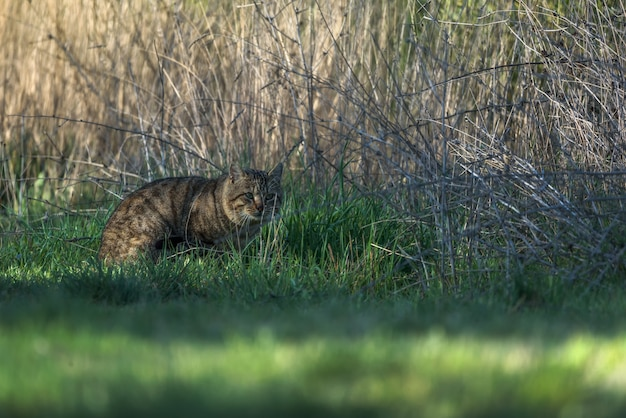 Chat sauvage sur l'herbe