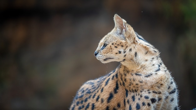 Chat sauvage serval
