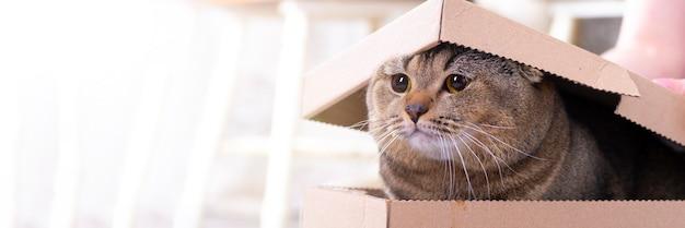 Le chat scotch pli sort d'une boîte en carton avec un couvercle sur le sol du salon.